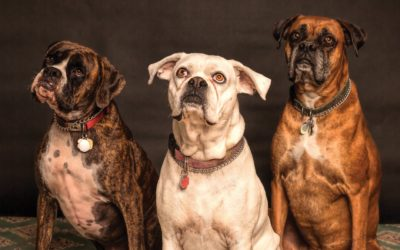 Ask The Trainer:  What breed of dog does not do well living in a multi-dog home?